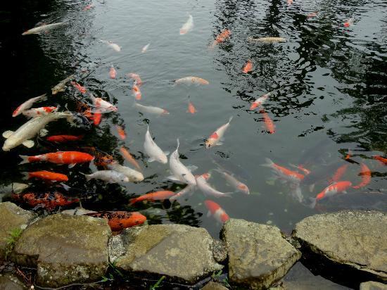 Koi pond picture of dahilayan forest park valencia city for Koi pond quezon city