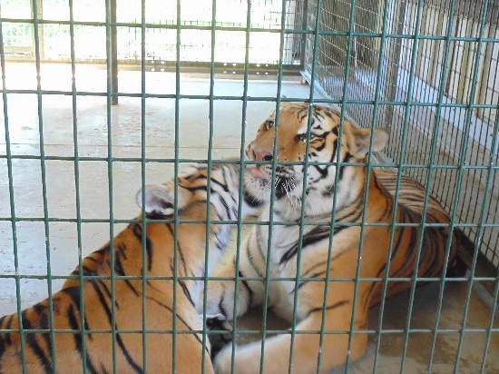 Big Cat Habitat and Gulf Coast Sanctuary: brother and sister tigers grooming each other