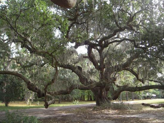 Ancient Live Oak Tree Picture Of Magnolia Plantation Gardens Charleston Tripadvisor