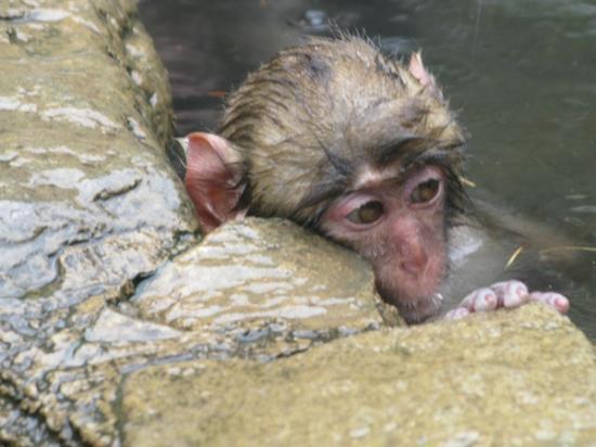 Ryokan Biyunoyado: Affe ohne Mama