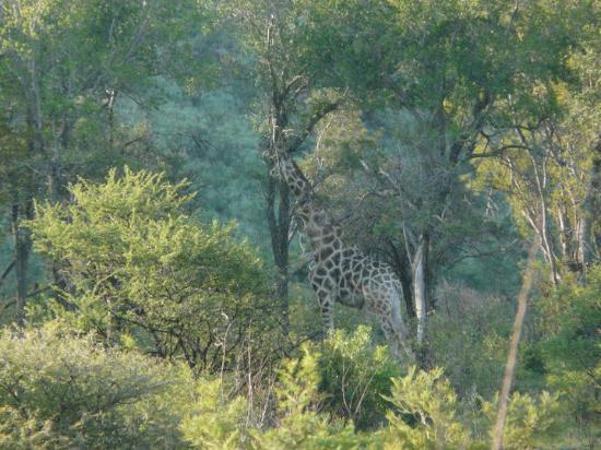 Kwa Maritane Bush Lodge: Giraffe
