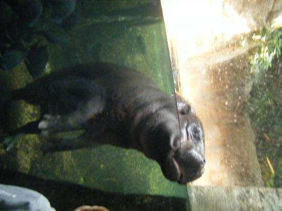 Hippo Picture Of Lincoln Park Zoo Chicago Tripadvisor