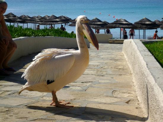 Nissi Beach Resort: NIssi Bay Pelican - he's like a local celebrity