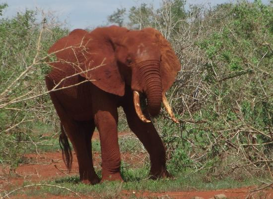 Blue Bay Village: safari allo TSAVO EST