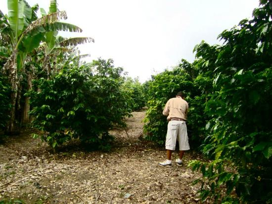 Hidden Valley Inn: Oscar teaching us about the coffee plants on the property