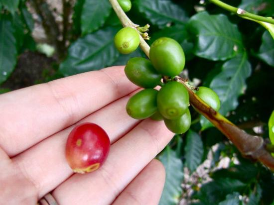 Hidden Valley Inn: Coffee grown & harvested on the property