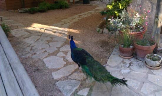 The Red Corral Ranch: One of the lovely peacocks strolling the grounds near the lodge.