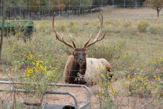 Country Inn & Cottages: Elk that roam.