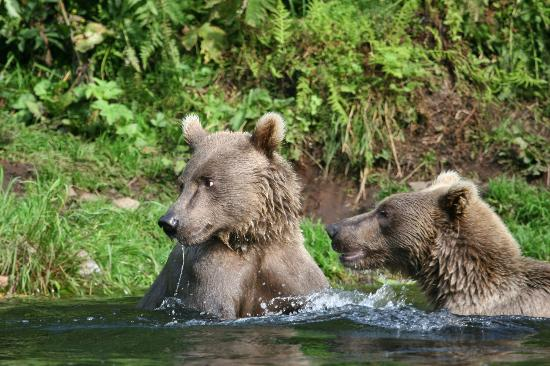 Riddle's Fishing Lodge: Brown Bears at Wolverine Creek Fly-Out