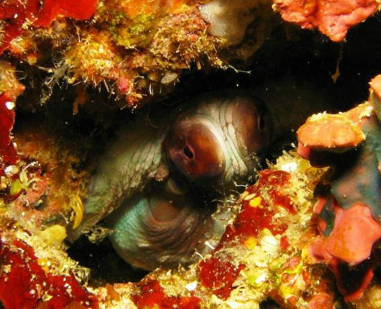 Outer Reef Adventures: Hiding Octopus