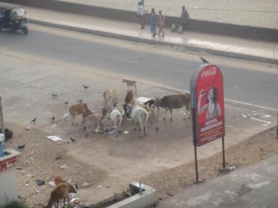 Hotel Shree Hari Cows eating garbage right in front of entrance