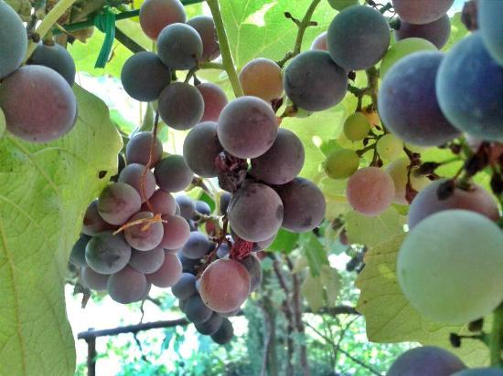 Da Alice: The grapes of the vine, over breakfast.