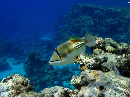 Sharks Bay Umbi Diving Village: Picassofish