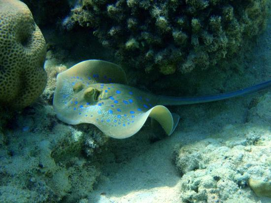 Sharks Bay Umbi Diving Village: Bluespotted Stingray