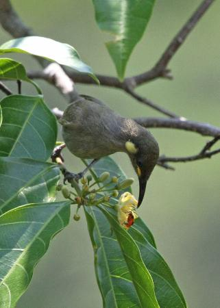 ‪داينتري ويلدرنيس لودج: Honeyeater at Daintree Discovery Centre‬