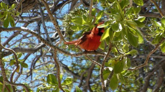 Kaloko-Honokohau National Historical Park: cardinale del nord   maschio