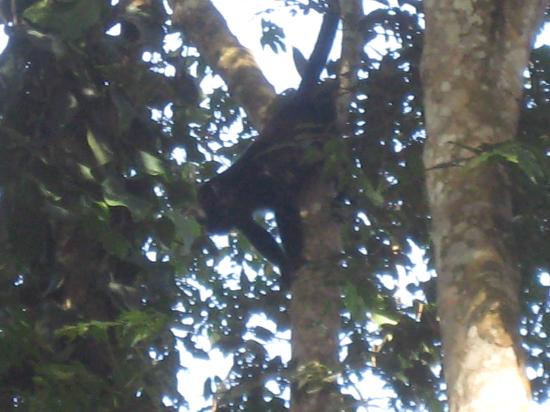 Cubali Houses: A howler monkey right at the beach!