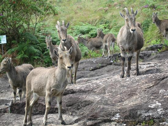 Royal Mist: Nilgiri Mountain Goats at Eravikulam National Park