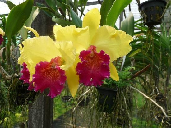 โรงแรมแคนตารี ฮิลล์: Orchid farm.
