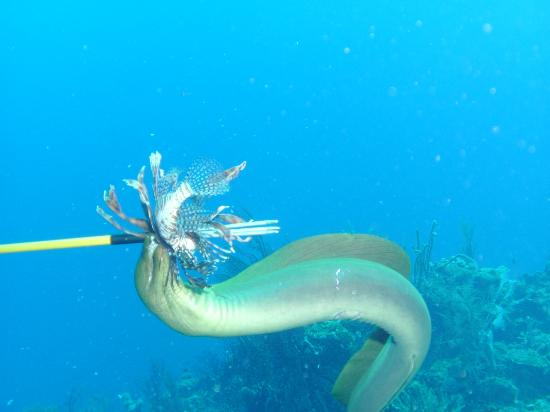 A friend below having Lionfish for lunch