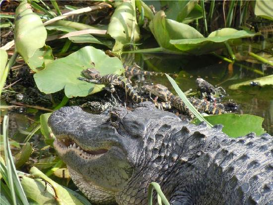 Gator Park: Mama and baby gators