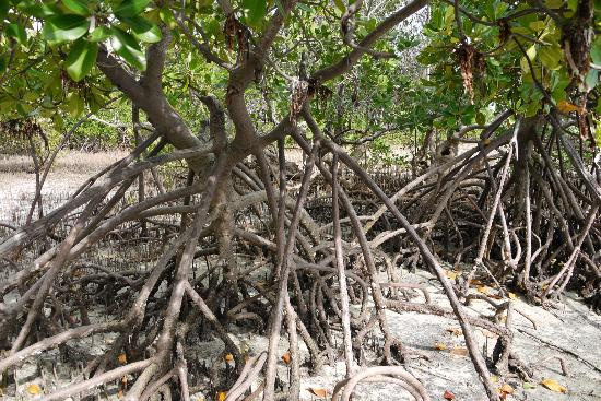 Didimiza Beach Guest House: Mangroves at the beach next to the guesthouse