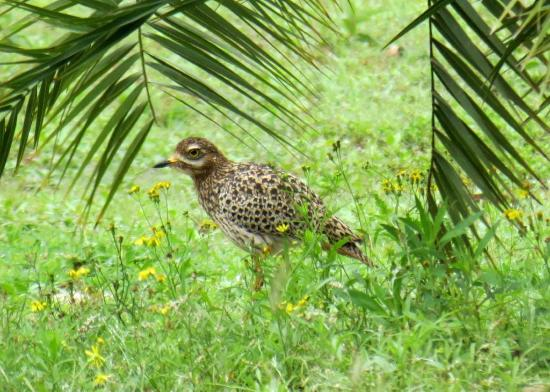 Sand Forest Lodge: A spotted dikkop in the garden, hoping not to be seen