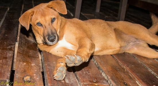 Chachagua Rainforest Hotel & Hacienda: Cinnamon - the resort pup!