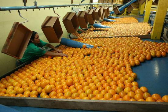 Al's Family Farms: We ship beautiful Indian River Citrus