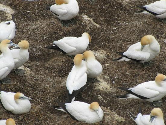 NZBR Day Tours: The Gannets greet each other upon their mate's return