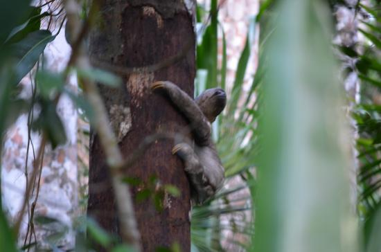 La Selva Amazon Ecolodge: Sloth