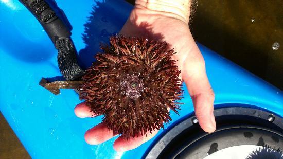 O-Sea-D Aquatic Adventures LLC: Sea urchin