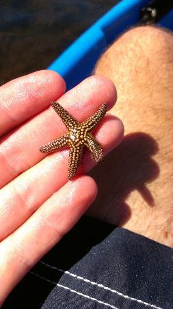 O-Sea-D Aquatic Adventures LLC: Starfish found near Cayo Costa