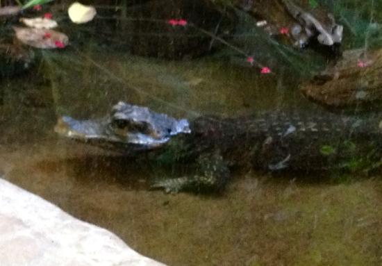 Toronto Zoo: crocodile