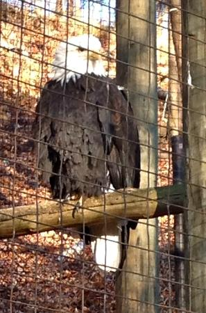 Toronto Zoo: eagle