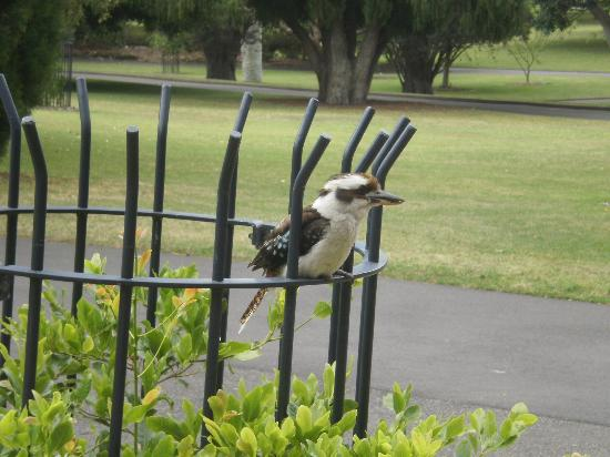 Kookaburra visiting Sydney Botanical Gardens, walking distance from DeVere Hotel