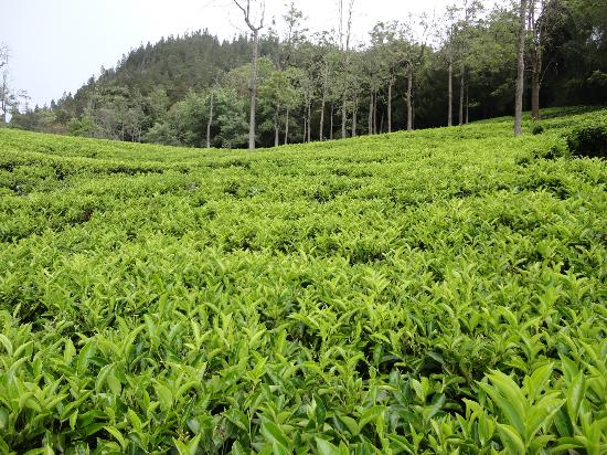Tranquilitea Farm Stay: Walk in the tea plantations- must do activity