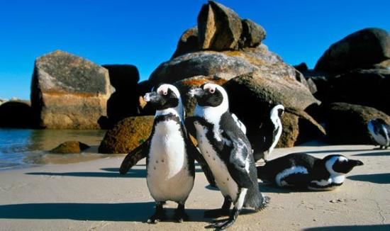 Cape Town Seamore Express Tours and Guesthouse: Boulders Beach -with Seamore-Express Tours and Guesthouse