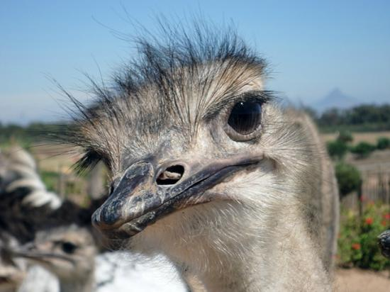 Cape Town Seamore Express Tours and Guesthouse: West Coast Ostrich Tour with Seamore-Express Tours and Guesthouse