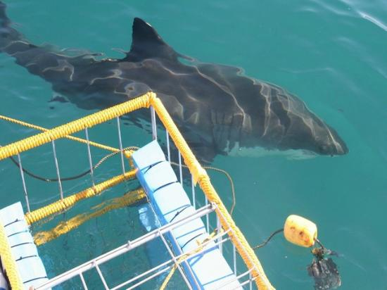 Cape Town Seamore Express Tours and Guesthouse: Jaws! Great White Shark Cage Diving Tour