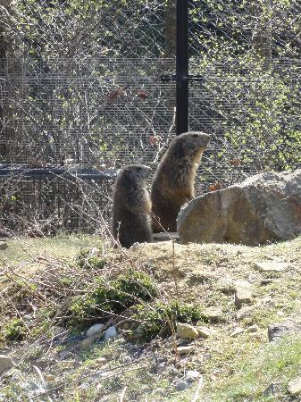 Wildpark Peter & Paul : Aufmerksame Murmeltiere nach dem Winterschlaf (5.4.2012)
