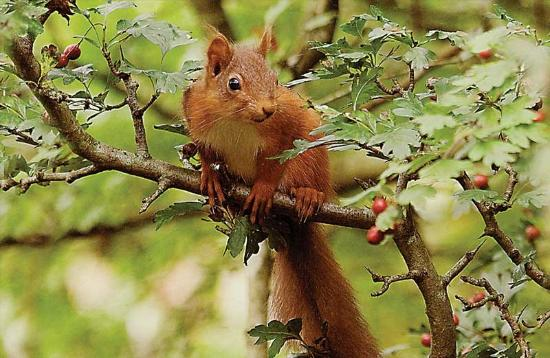 Haweswater Hotel: A Red Squirrel, common in the local area