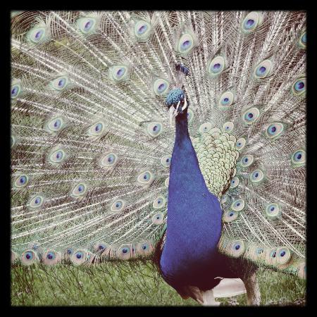 Parc de Cleres: paon bleu / blue peacock