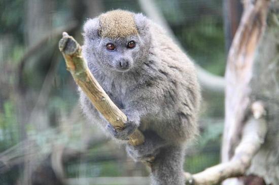Parc de Cleres: hapalémur d'alaotra / Lemur bambou