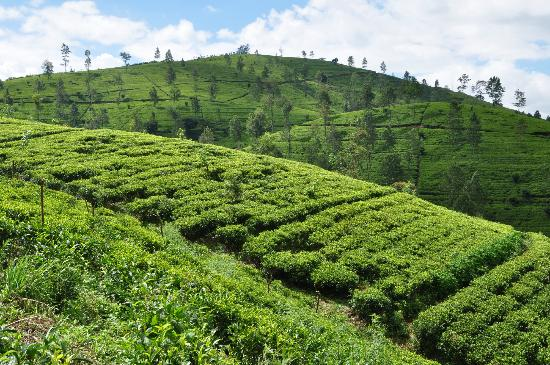 Amaya Langdale: tea plantations