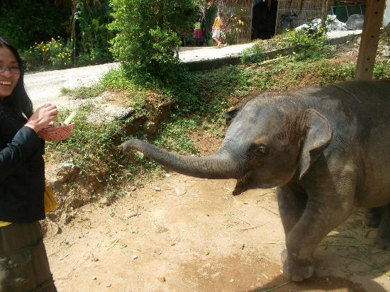 Kok Chang Safari Elephant Trekking: Feeding Baby Elephant