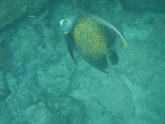 Arnos Vale Reef : angel fish