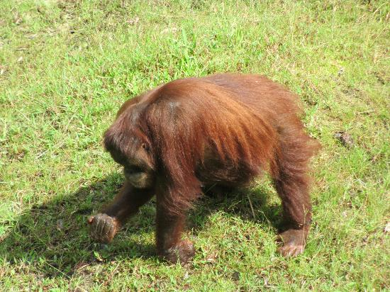 The Great Orangutan Project: one of the well-cared for orangutans named Catherine