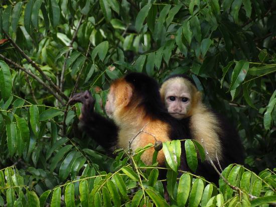 Gamboa, Panama: Mama and baby Monkey on the Island
