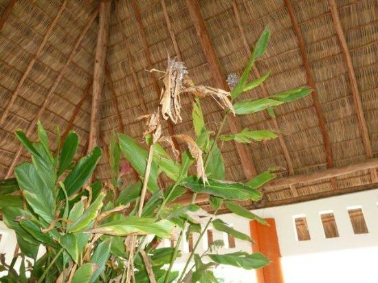 Grand Palladium Vallarta Resort & Spa: The main feature in the lobby - a dead plant - water was leaking from the bottom on the floor